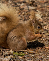 Red squirrel with lunch