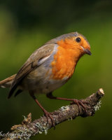 Robin posing on a lichen covered branch