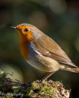 Robin with a glint in the eye