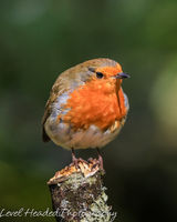 Rotund robin posing on a lichen covered branch