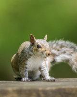 Scary Grey squirrel