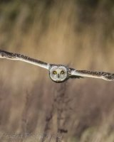 Short Eared Owl-15