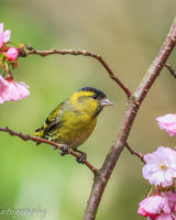 Siskin in the middle