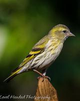 Siskin on a perch - Female