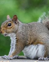 Smiling Grey squirrel