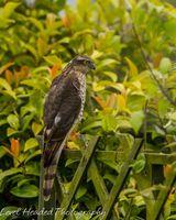 Sparrowhawk eyeing prey
