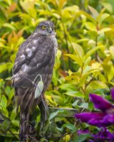 Sparrowhawk in the rain