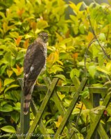 Sparrowhawk staring