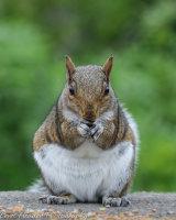 Tubby Grey squirrel