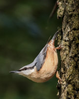 Typical nuthatch pose