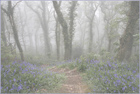 Bluebells in the Misty Wood