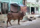 Cow at Varanasi