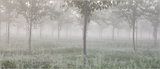Trees in the Mist
