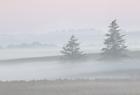 Fir Trees in the Mist