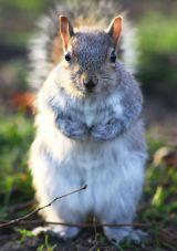 Grey Squirrel, Greenwich Park, London