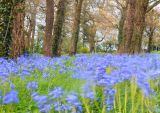 Bluebells, Loughrea, Galway