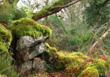 Reenadinna Yew Wood, Killarney National Park, Kerry