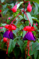 Fuchsia Black Prince