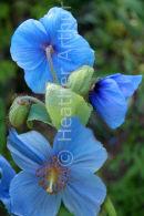 Meconopsis Betonicifolia