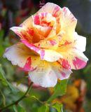 Rosa Claude Monet