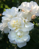Rosa Moonlight