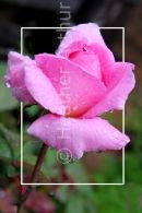 Rosa Sir Walter Raleigh