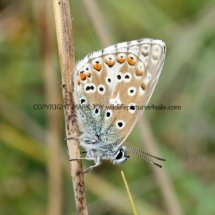 Adonis Blue male (1)