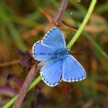 Adonis Blue (male) (1)
