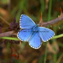 Adonis Blue (male) (5)