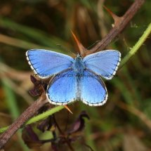 Adonis Blue (male) (6)