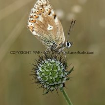Adonis Blue male  ab krodeli (1)
