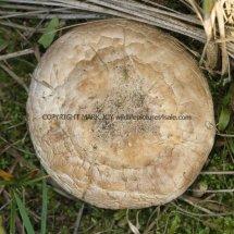 Agaricus arvensis Horse Mushroom RSPB Minsmere 1.12.2016 (1)