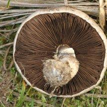 Agaricus arvensis Horse Mushroom RSPB Minsmere 1.12.2016 (3)