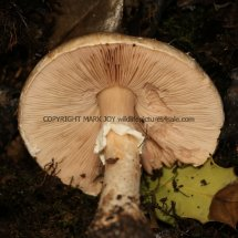 Agaricus langei Scaly Wood Mushroom or A silvaticus Blushing Wood (8)