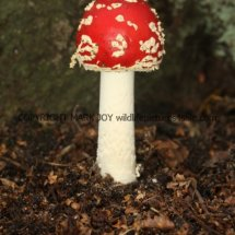 Amanita muscaria Fly Agaric (2)