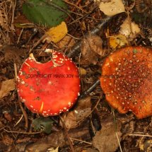 Amanita muscaria Fly Agaric (3)