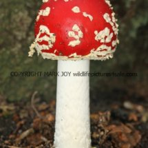 Amanita muscaria Fly Agaric (6)
