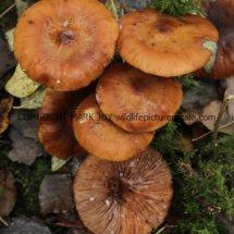 Armillaria mellea Honey Fungus (2)