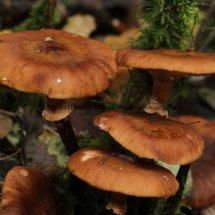 Armillaria mellea Honey Fungus (3)