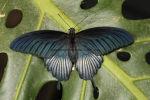 Ascalaphus Swallowtail (6)