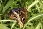 Atreus or Yellow-edged Giant Owl (Caligo atreus) (4)