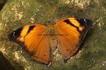 Autumn Leaf butterfly (Doleschallia bisaltide) 1 (1)
