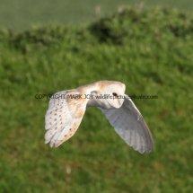 Barn Owl (13)