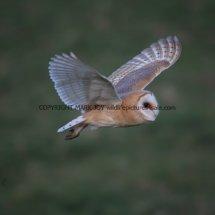 Barn Owl (18)