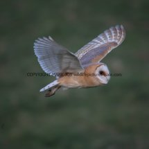 Barn Owl (19)