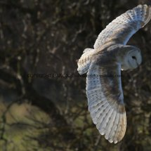 Barn Owl (6)