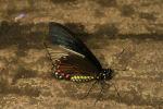 Belus Swallowtail (Battus belus) (2)