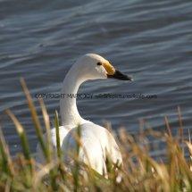 Bewick Swan (1)