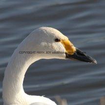 Bewick Swan (3)