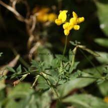 Bird's-Foot Trefoil (1)